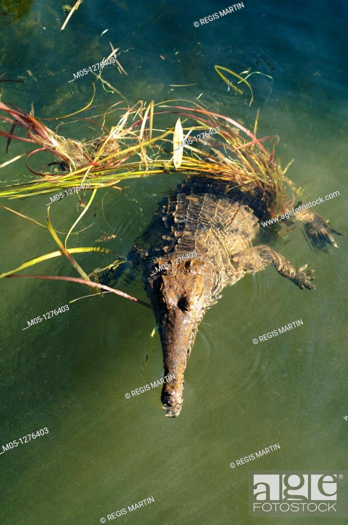 Stock Photo: A fresh water crocodile or Johnston's crocodile , in the Northern Territory of Australia.