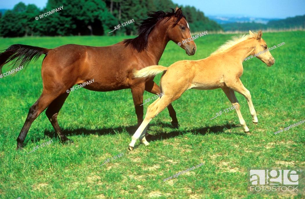 Stock Photo: Quarter Horse with foal on meadow.