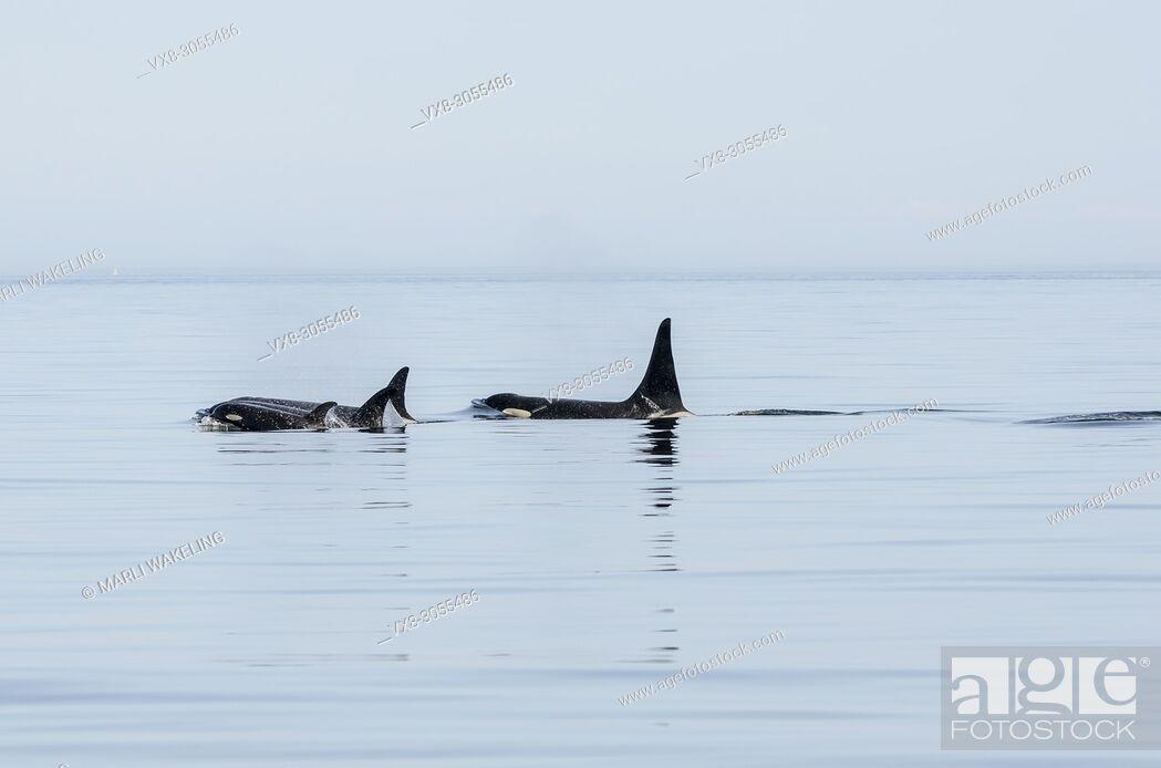 Stock Photo: Several generations of Salish Sea Southern Resident orcas, Orca orcinus, J-Pod, T'ilem I'nges (J-49), Hy'Shqa (J 37), Granny (J-2), Onyx (L-87).