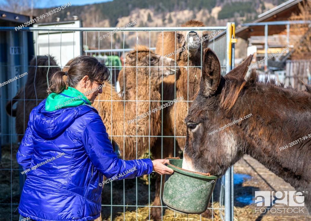 Stock Photo: 08 March 2020, Bavaria, Oberammergau: Hedwig Norz, an actress in the Passion Plays, looks after the camels and donkey that will be on stage during the.