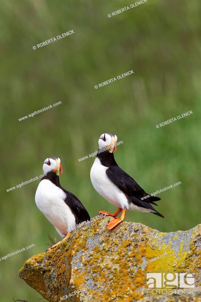 Horned Puffins Fratercula Corniculata Hallo Bay Ninagiak Island