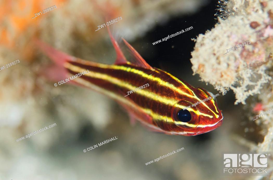 Stock Photo: Blackstripe Cardinalfish (Ostorhinchus nigrofasciatus), Aw Shucks dive site, Lembeh Straits, Sulawesi, Indonesia.