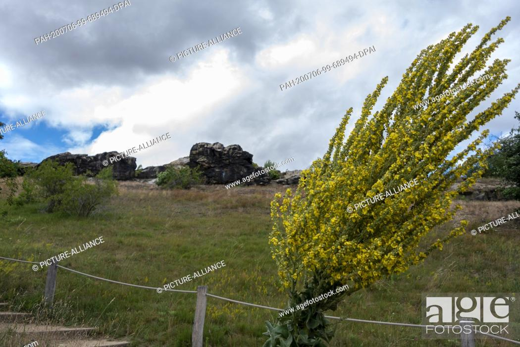 Stock Photo: 05 July 2020, Saxony-Anhalt, Weddersleben: A mullein (Verbascum phlomoides) bends in the wind in front of the devil's wall.