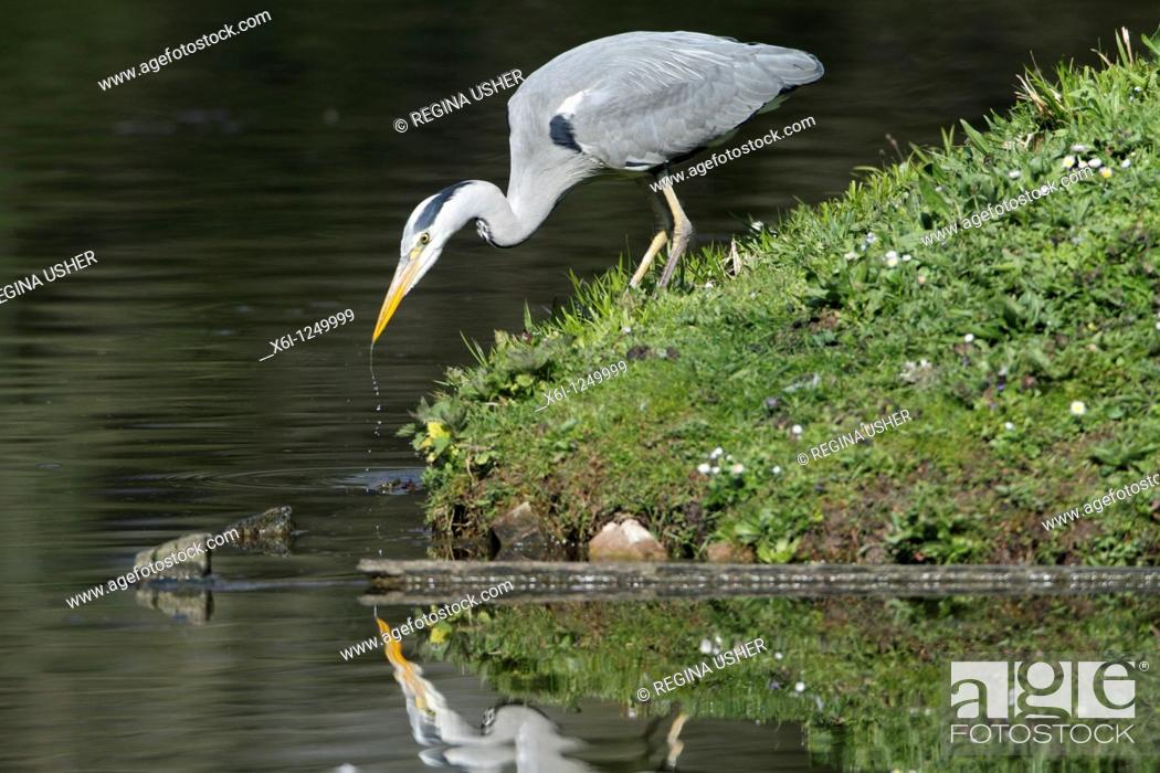 Stock Photo: Grey Heron Ardea cinerea, at side of lake stalking fish, Germany.