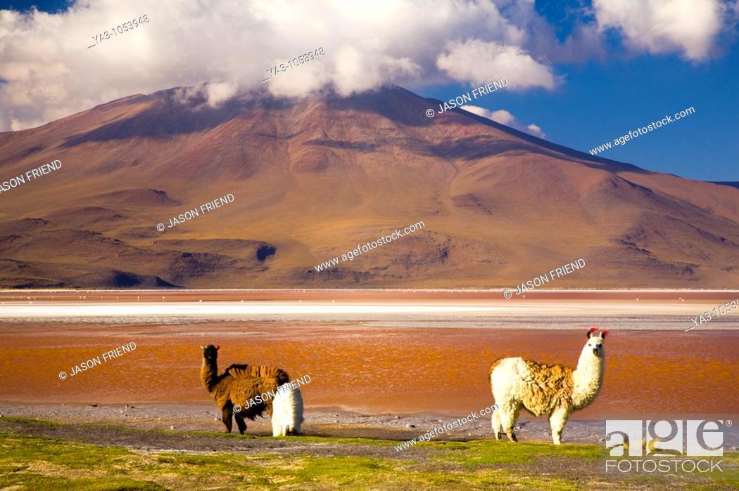 Stock Photo: Bolivia, Southern Altiplano, Laguna Colorada  Llamas near the Laguna Coloroda otherwise know as the coloured lake.