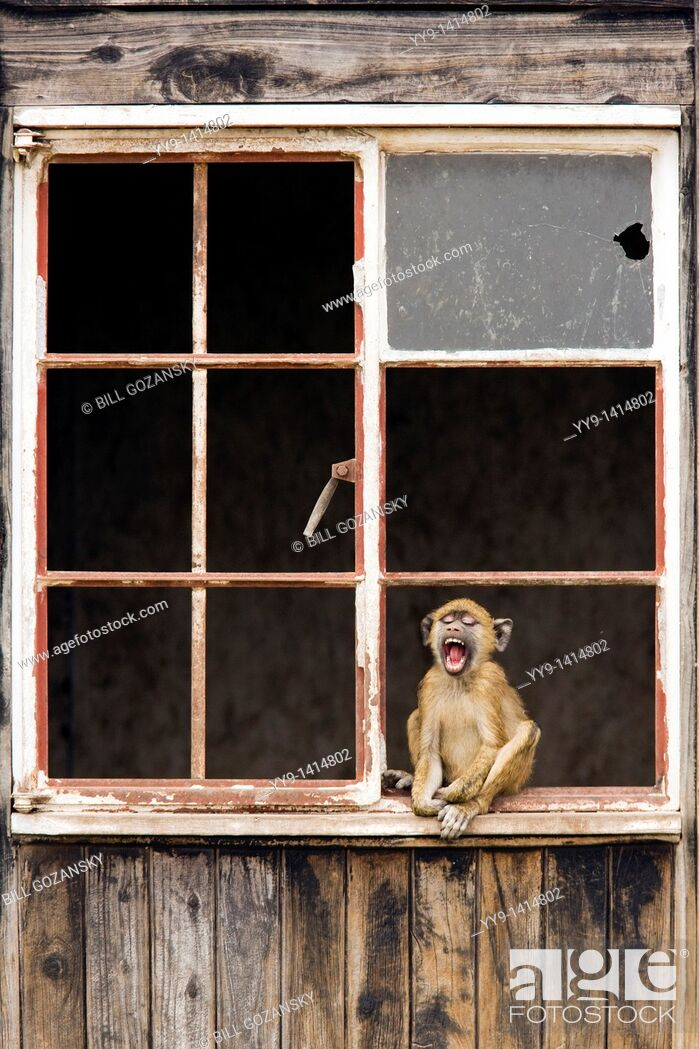 Stock Photo: Olive Baboon sitting in window of abandoned house yawning - Amboseli National Park, Kenya.