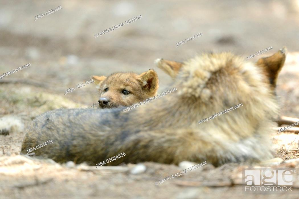 Stock Photo: Eurasian wolves, Canis lupus lupus, side view, lying, looking at camera.