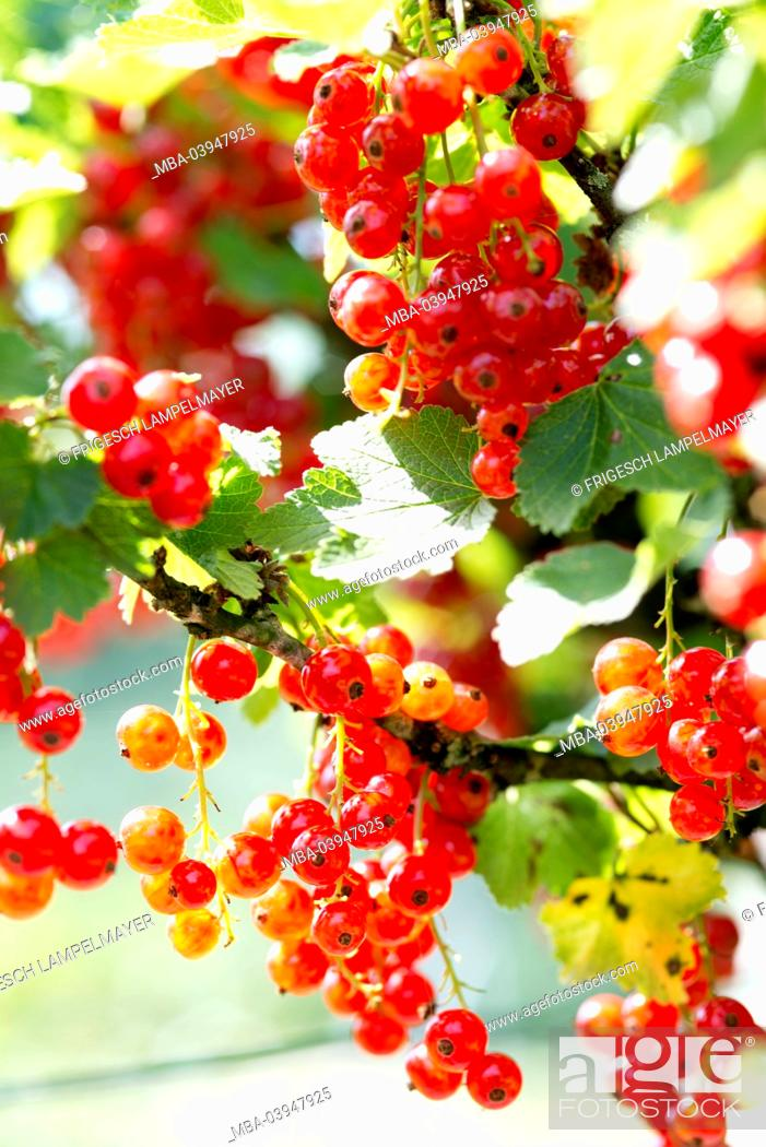 Stock Photo: Red currants.