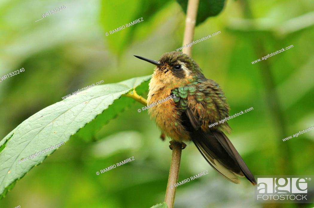 Imagen: Adelomyia melanogenys.