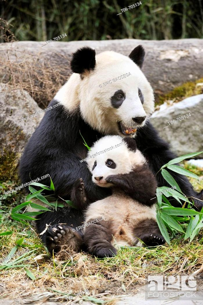 Stock Photo: Giant panda mother and baby (Ailuropoda melanoleuca) Wolong Nature Reserve, China.