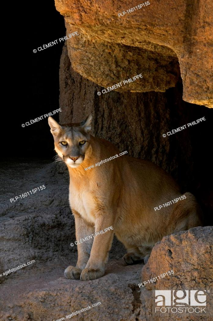 Stock Photo: Puma / mountain lion / cougar (Felis concolor) sitting in the evening sun at entrance of cave, native to the Americas.