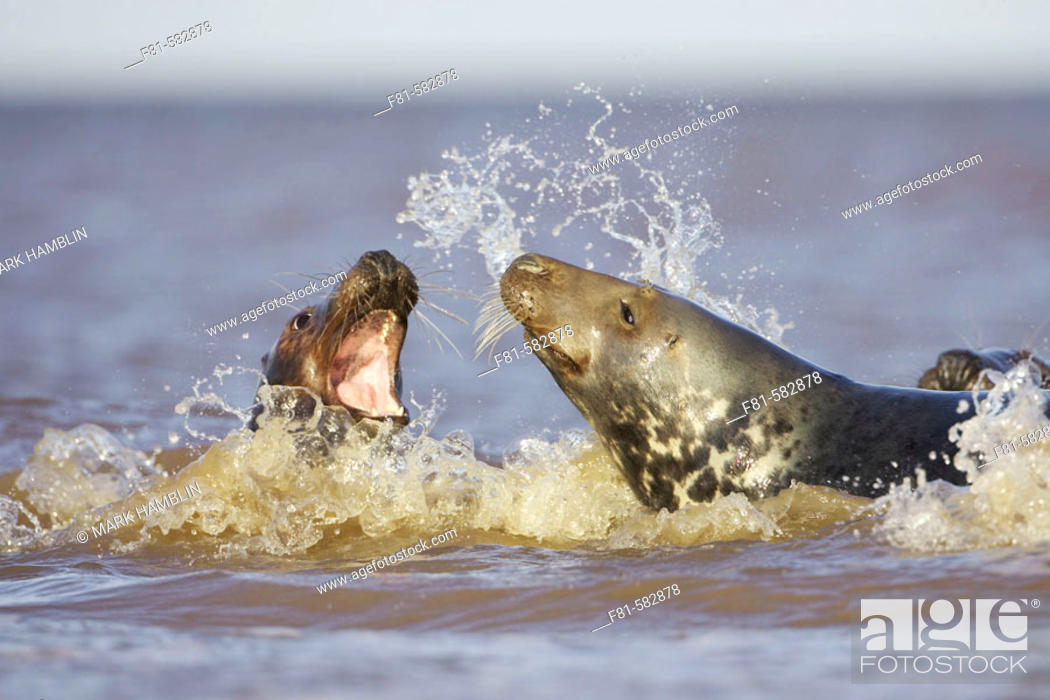 Stock Photo: Grey Seal (Halichoerus grypus) sub-adults play-fighting in sea. North Lincolnshire, UK. November 2005.