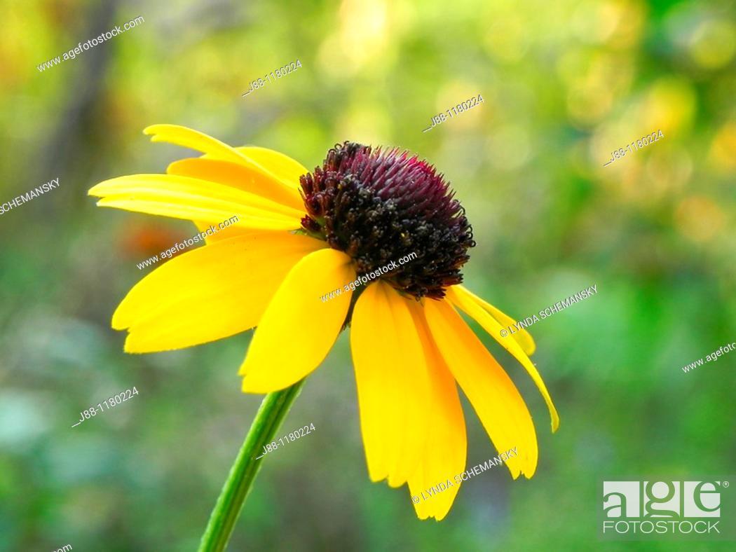 Imagen: Black eyed Susan flower, rudbeckia sp, in the late afternoon garden.