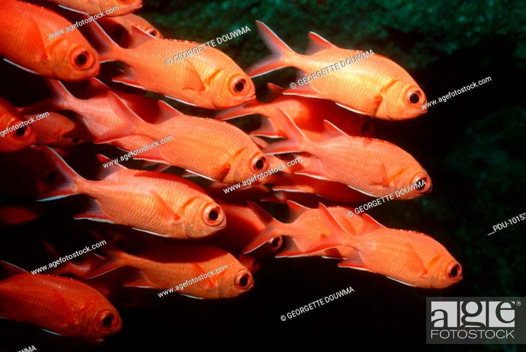 Stock Photo: White-tipped soldierfish Myripristis vittata, Indian Ocean, Maldives.