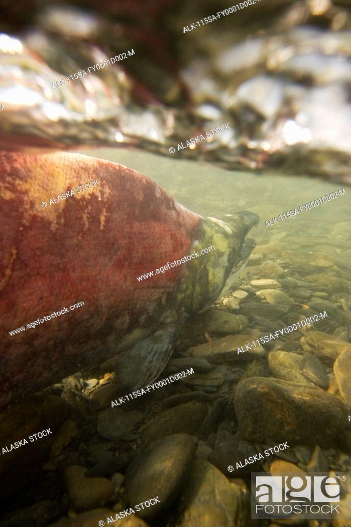 Stock Photo: Spawned out Sockeye Salmon in Quartz Creek Kenai Peninsula Alaska Summer Underwater image.