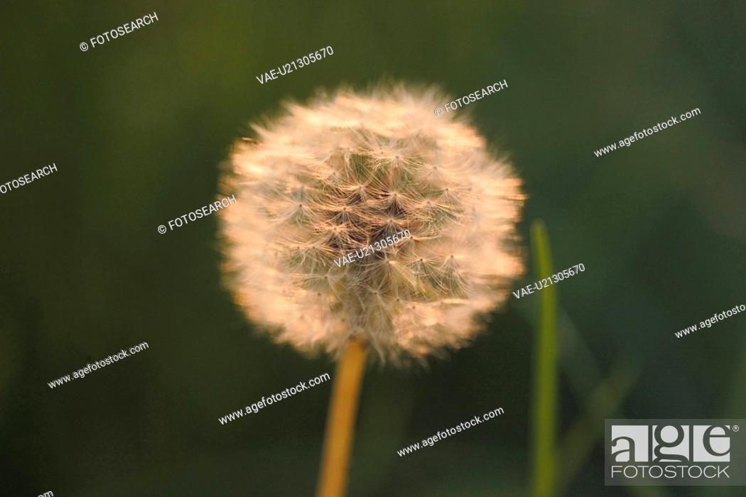 Stock Photo: flowers, plant, flower, plants, dandelion, bloom, nature.