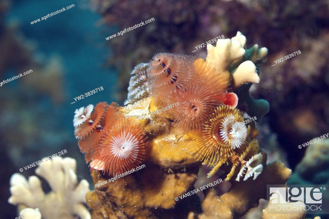 Stock Photo: Corals and christmas tree worms in the Caribbean sea around Bonaire. Close-up.
