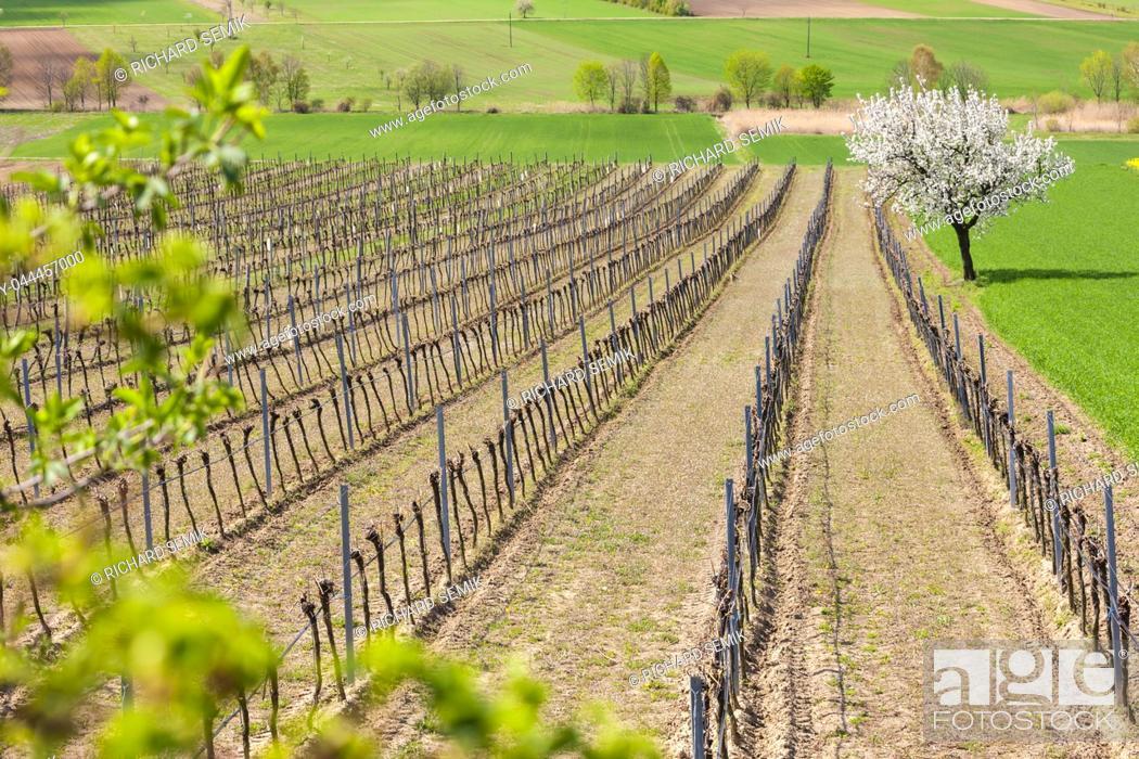 Photo de stock: spring vineyard near Retz, Austria.
