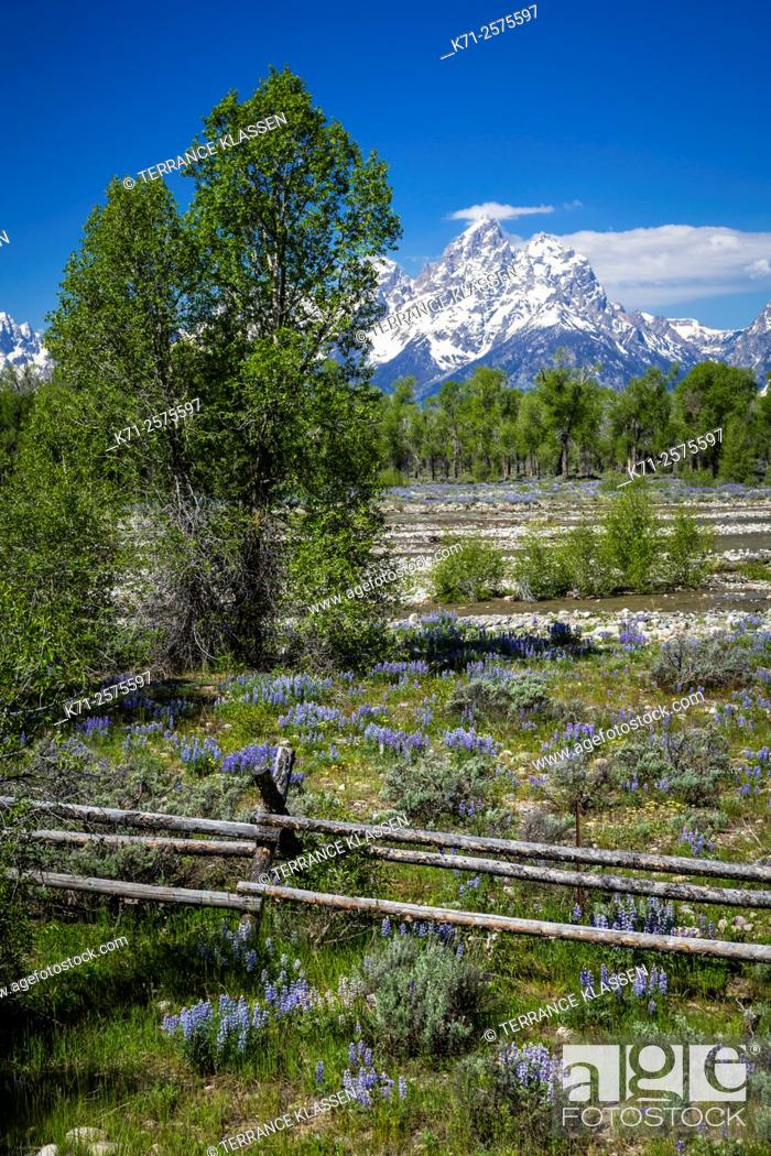 Stock Photo: Flower meadows and mountains in the Grand Teton National Park, Wyoming, USA.