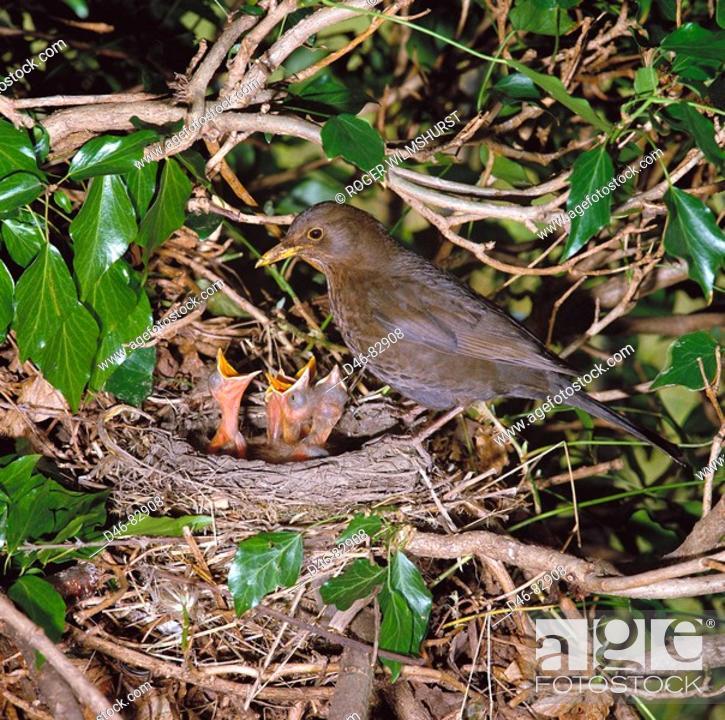 Stock Photo: Blackbird (Turdus merula), female at nest.