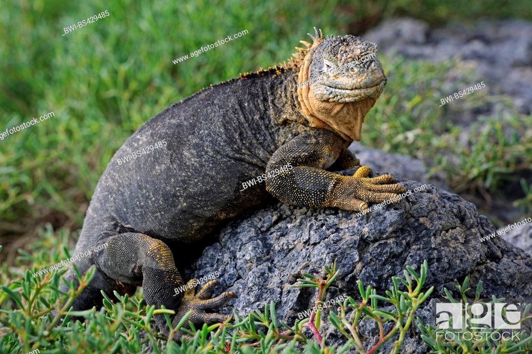 Stock Photo: Galapagos land iguana (Conolophus subcristatus), sitting on a rock, Ecuador, Galapagos Islands, Plaza Sur.