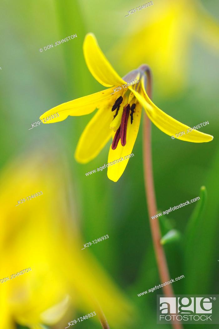 Stock Photo: Trout lily/Dogtooth violet Erythronium americanum.