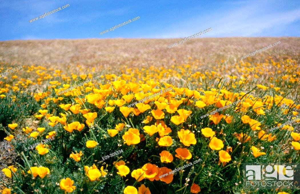 Stock Photo: field of California poppies, Antelope Valley, Mojave Desert, California, USA.