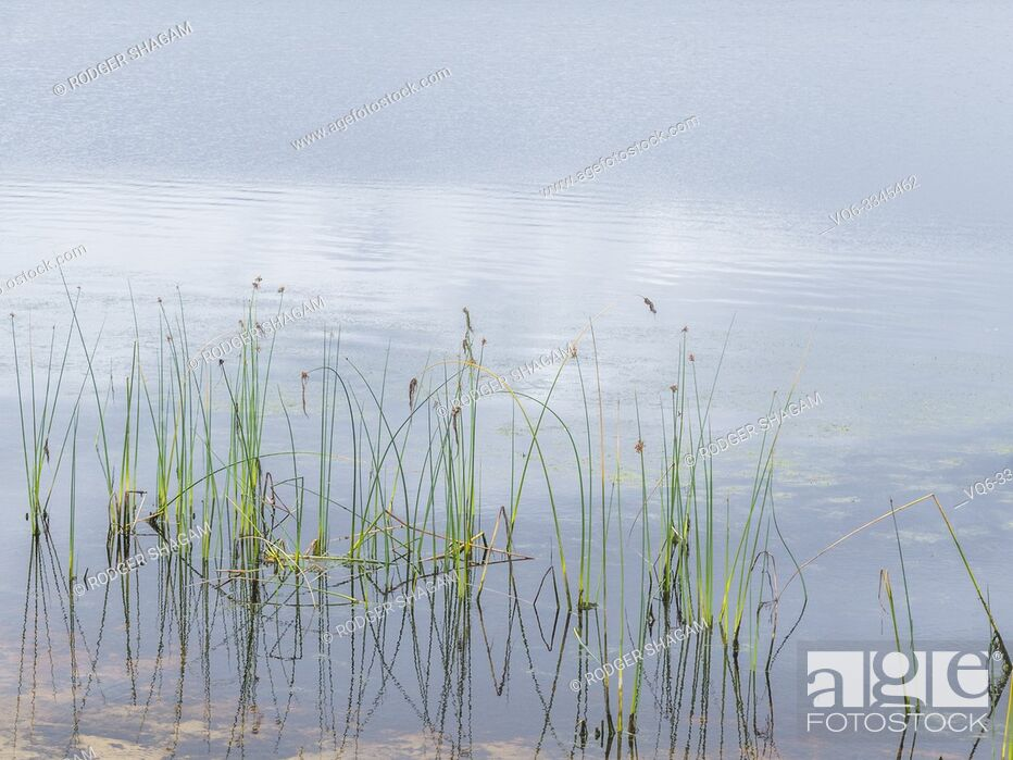 Stock Photo: cluster of reeds in the quiet waters of a farm dam.