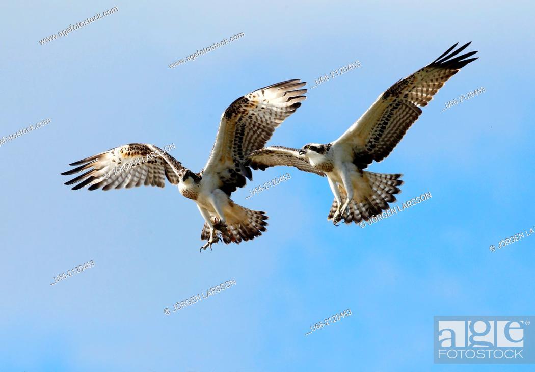 Stock Photo: Osprey (Pandion haliaetus), Södermanland, Sweden.