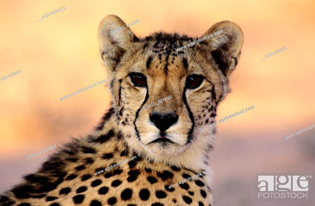 Stock Photo: Cheetah, Acinonyx jubatus, Kgalagadi Transfrontier Park, Kalahari, South Africa.