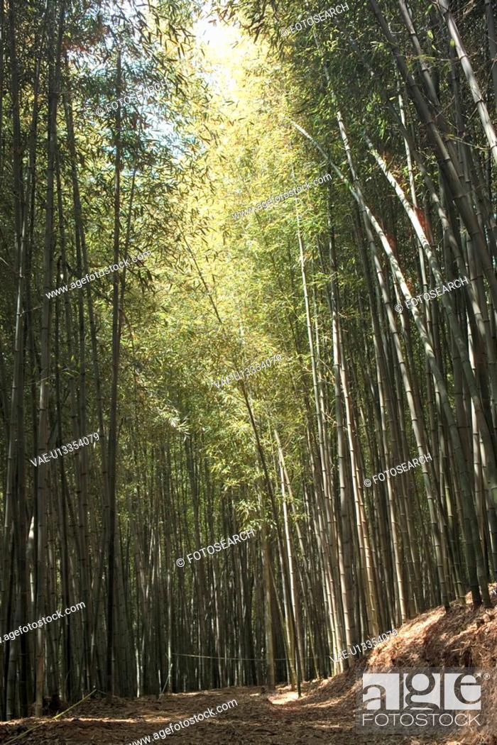Stock Photo: bamboo, plant, tree, trees, plants, tree.