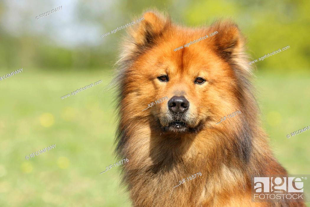 Imagen: Eurasier dog - portrait.