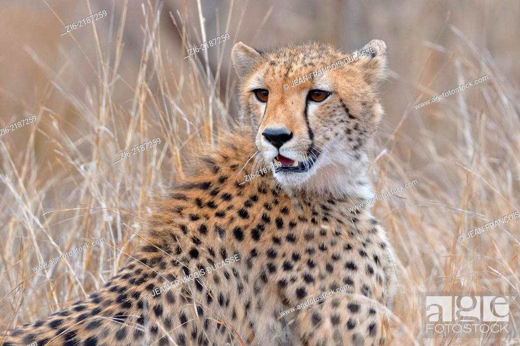 Stock Photo: Cheetah, (Acinonyx jubatus), sitting in the dry grass, early in the morning, Kruger National Park, South Africa, Africa.