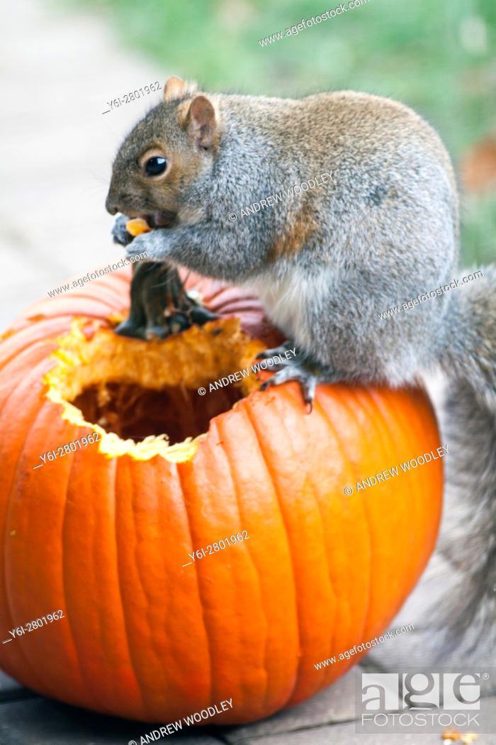 Stock Photo: Squirrel eating pumpkin Illinois USA.