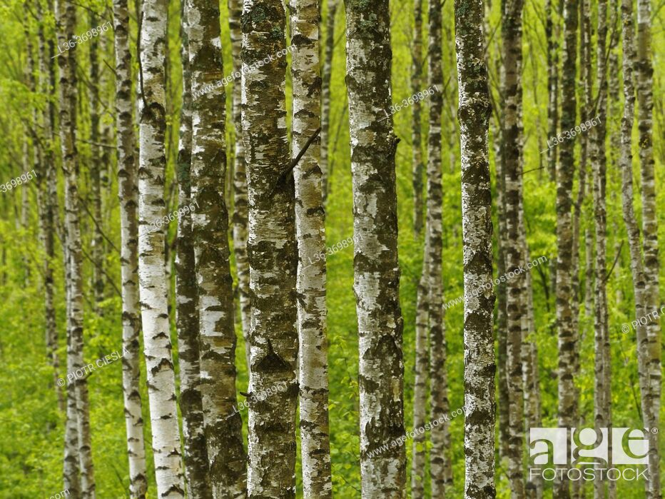 Photo de stock: Poland. Podlasie region. Birch grove.