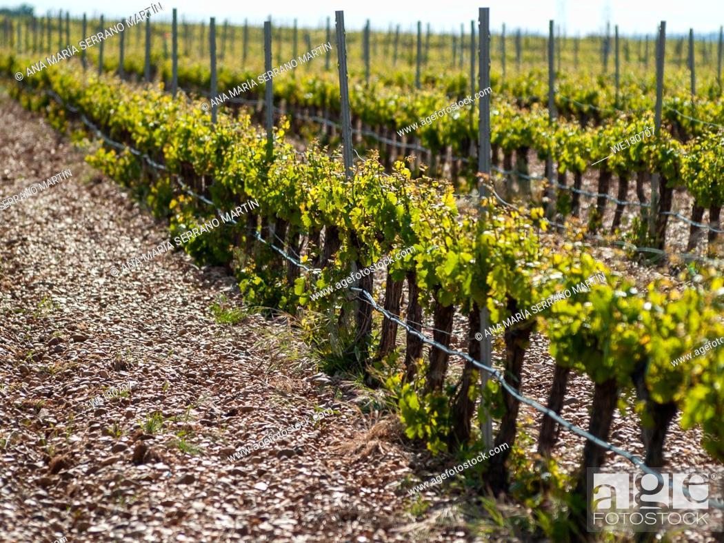 Stock Photo: A landscape of rural culture in espalier vineyard in spring in the denomination of origin Ribera del Duero in Spain.