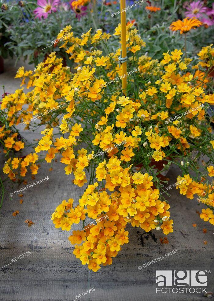 Stock Photo: Yellow Cineraria flowers. Spring garden series, Mallorca, Spain.