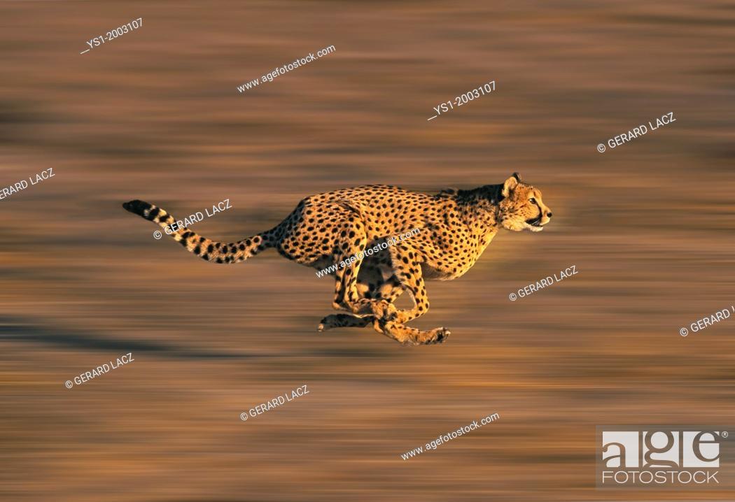 Stock Photo: CHEETAH acinonyx jubatus, Adult running through Savannah.
