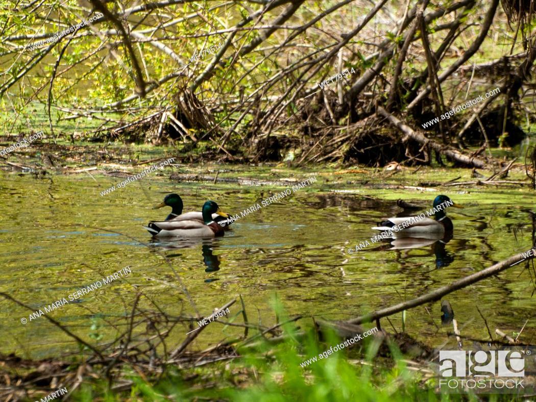 Imagen: Mallard ducks (Anas platyrhynchos) swimming in the water in a river.