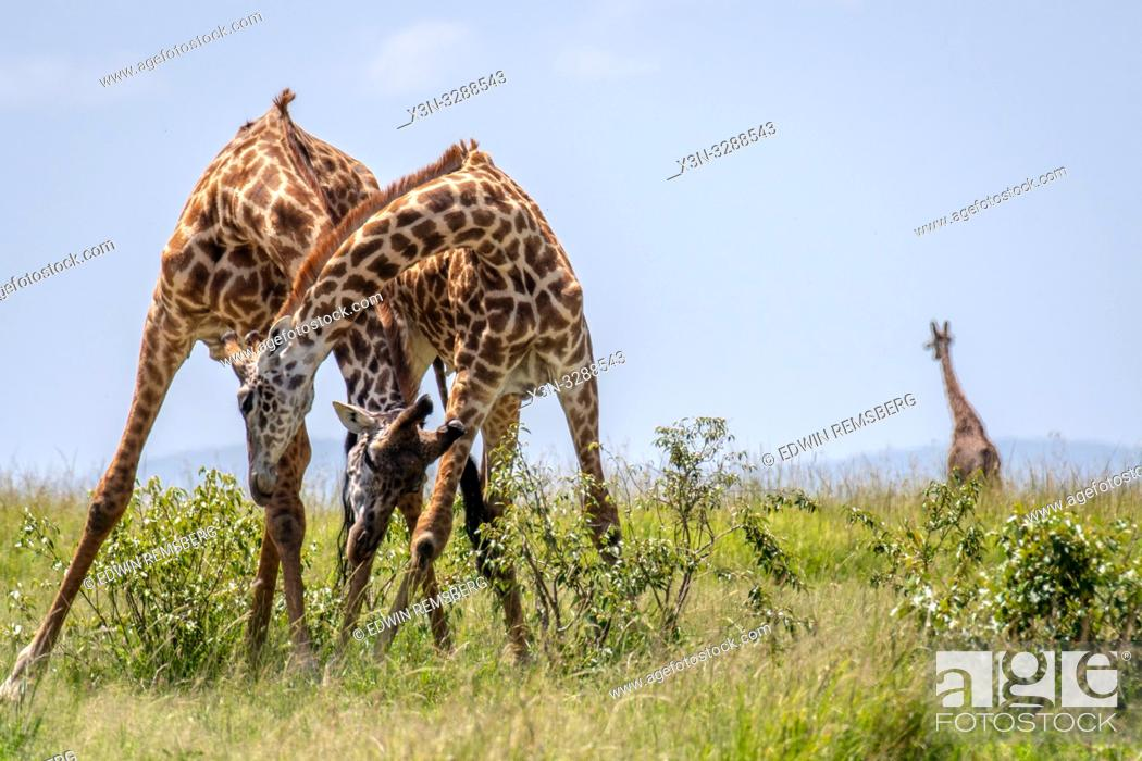 Stock Photo: Masai giraffes (Giraffa camelopardalis tippelskirchii), in the Maasai Mara National Reserve, Kenya.