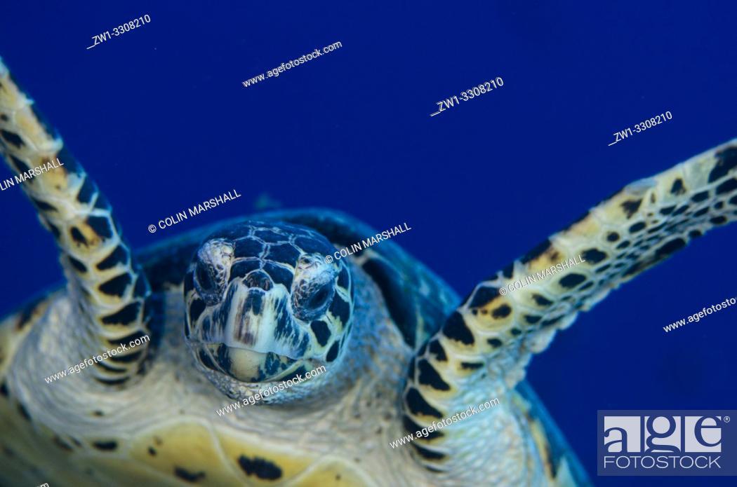 Stock Photo: Hawksbill Turtle (Eretmochelys imbricata) swimming, Pulau Suanggi dive site, Ambon, Maluku (Moluccas), Indonesia.