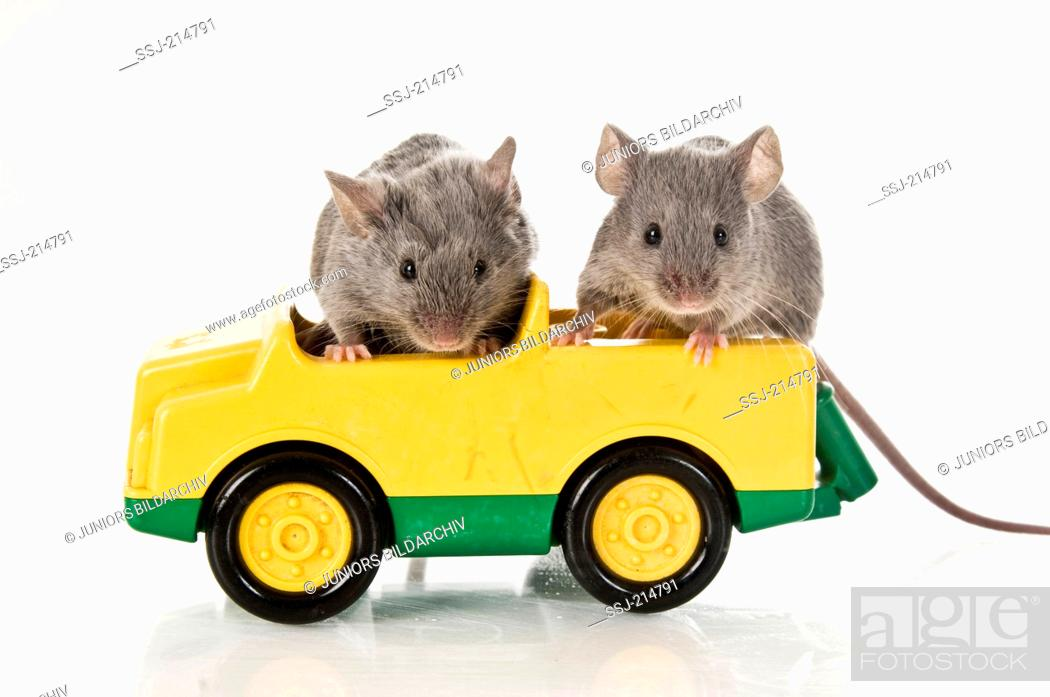 Stock Photo: Fancy Mouse. Two adults in a toy car. Studio picture against a white background. Germany.