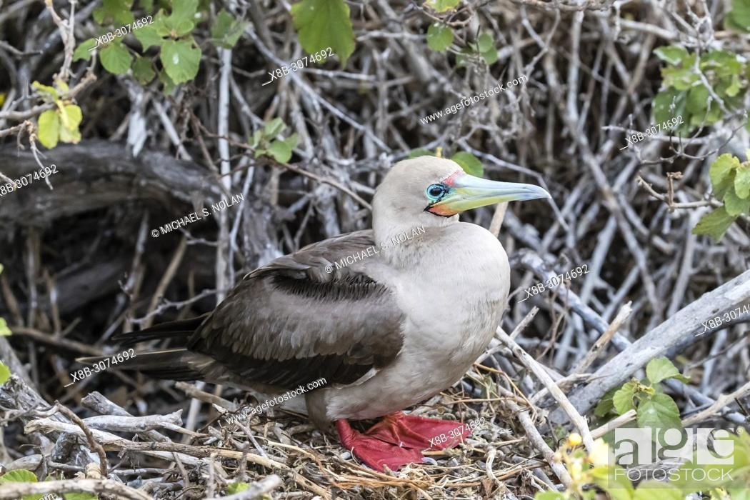 Stock Photo: Adult red-footed booby, Sula sula, on nest on Genovesa Island, Galápagos, Ecuador.