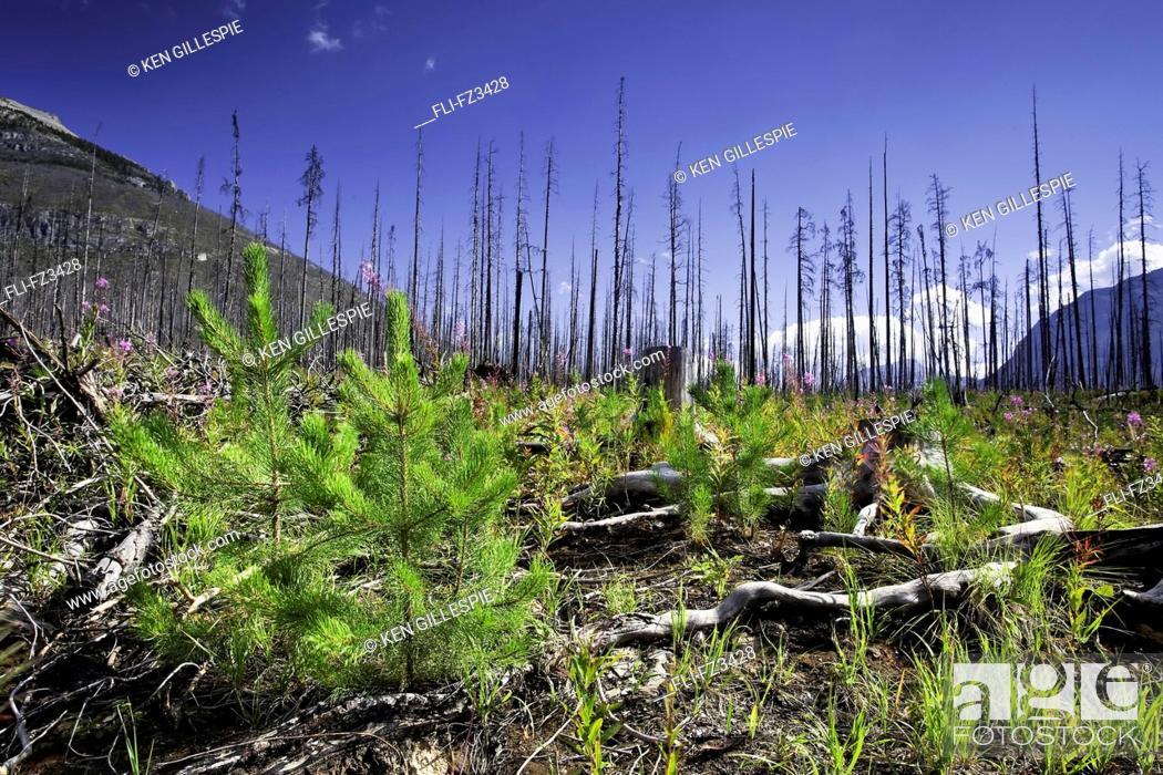 Stock Photo: Forest renewal after 2003 Kootenay Wildfires, Marble Canyon, Kootenay National Park, British Columbia.