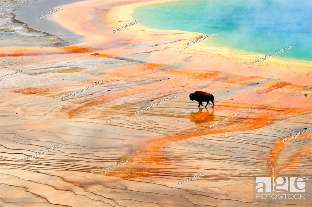 Stock Photo: American bison Bison bison Walking near Grand Prismatic Spring outflow.