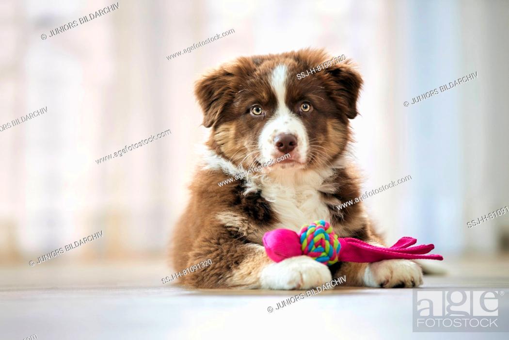 Stock Photo: Australian Shepherd. Puppy lying on wooden floor, with toy among its paws. Germany.
