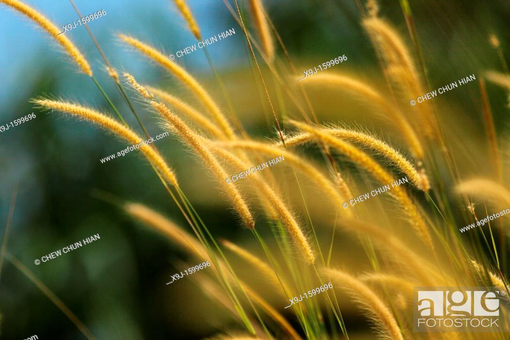Stock Photo: pampas grass of Borneo, borneo.