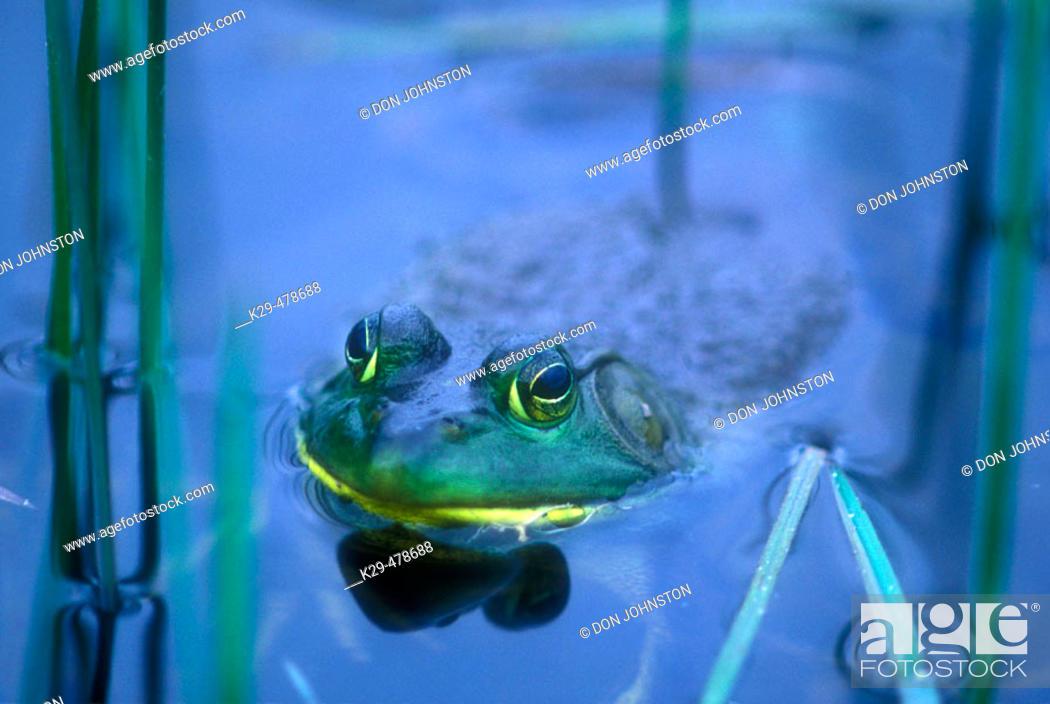 Stock Photo: Bullfrog (Rana catesbeiana). Wanup. Ontario. Canada.