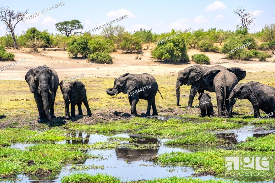 Stock Photo: A herd of African Elephants drinking water in a watering hole. Photographed at Chobe National Park Botswana.