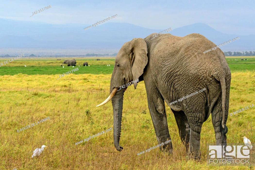 Imagen: African bush elephant (Loxodonta africana) with cattle egret (Bubulcus ibis). Amboseli National Park. Kenya.